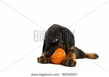 Puppy Of Doberman Pinscher Playing
