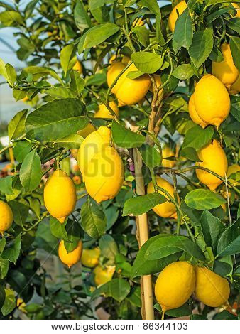 Yellow Ripe Lemons Hung On The Tree In Mediterranean Country