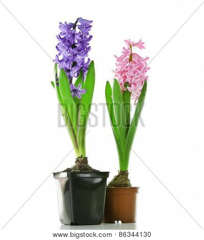 Hyacinth spring flowers isolated on white