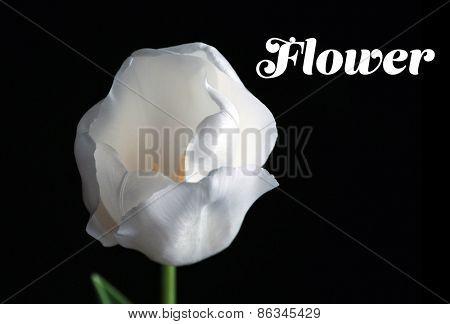 Beautiful white tulip on black background