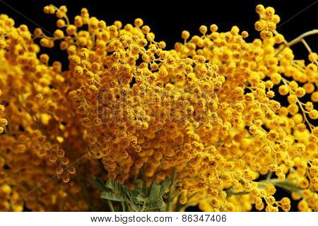 Beautiful sprigs of mimosa close up