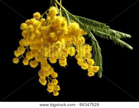 Beautiful sprig of mimosa on back background