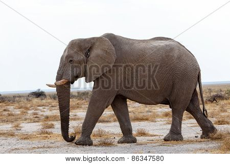Big African Elephants On Etosha National Park