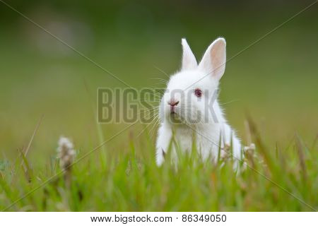 White Baby Rabbit In Grass