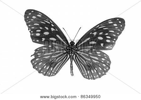 Pale Blue Tiger Butterfly (tirumala Limniace) In Process Color Isolated On White