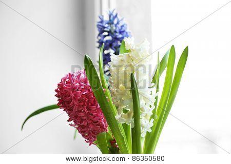 Beautiful hyacinths close up