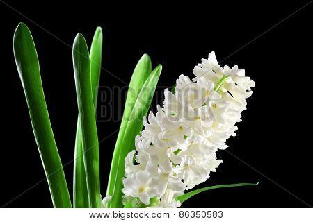 Beautiful white hyacinth on black background