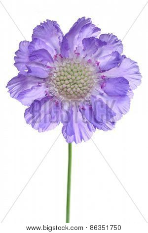 single isolated scabiosa flower, beautiful close-up  detail
