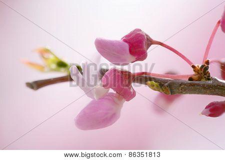 Redbud tree flowering