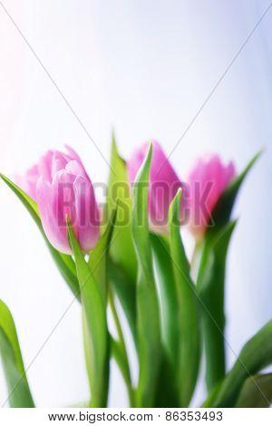 Beautiful pink tulips on light background