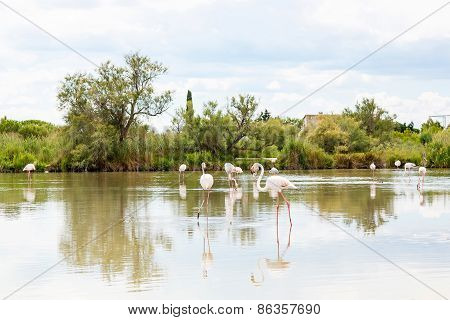 Wild Flamingo Birds In The Lake In France, Camargue, Provence