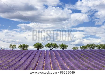 Horizontal View Of Lavender Field