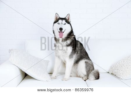 Beautiful cute husky sitting on sofa in white room