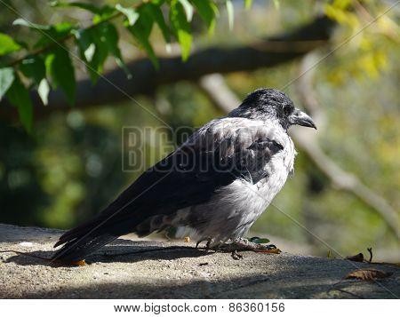 A hoodycrow or Corvus Cornix