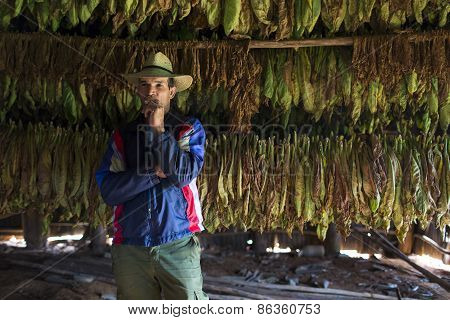 Vinales - February 20: Unknown Man Smoking In Hangar Where Tobacco Leaves Hung Up To Dry On February