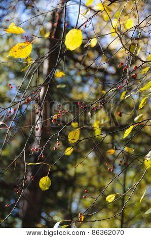 Wild Apple-tree In Forest