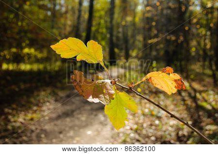 Many-coloured Autumn Leaves