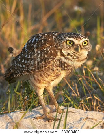 Burrowing Owl Looking Surprised