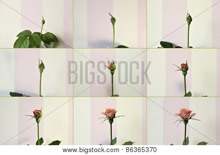 Pink Rose. From Bud To A Flower.