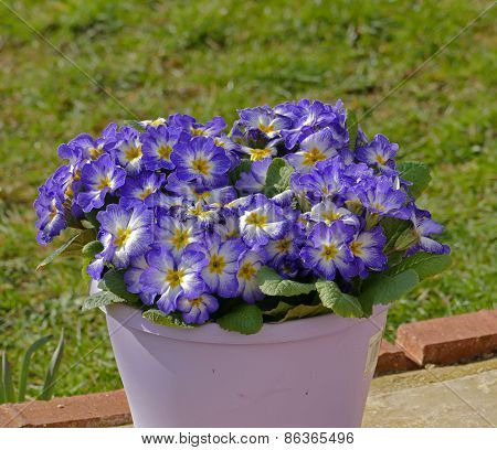 Flowers in pot, Primulars
