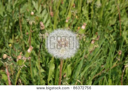 Blowball flower