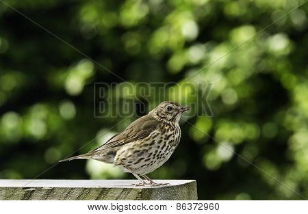 Young adult of song thrush.