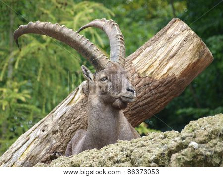 Ibex Mountain Or Alpine (capra Ibex)