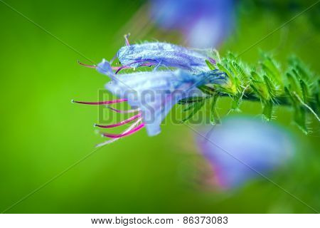 Wild Violet Flower On Green Meadow