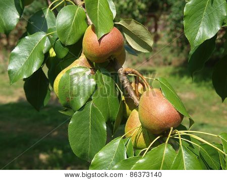 Autumn Crop Of Pears