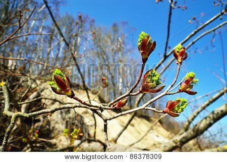 Spring. Poplar Buds Closeup