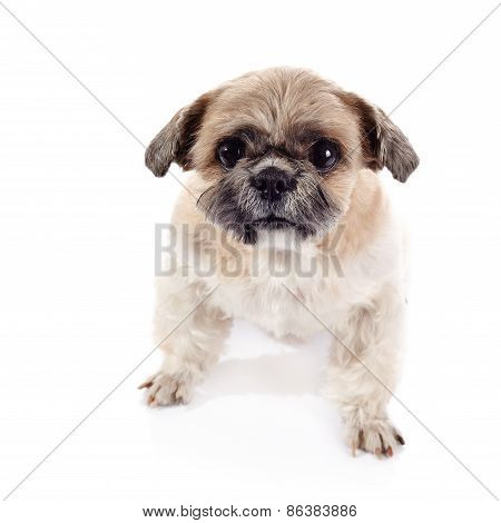 Amusing Doggie Of Breed Of A Shih-tzu