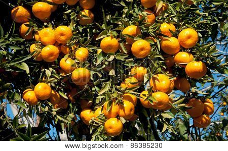 Ripe Tangerines Hanging From The Tree