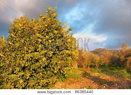 Tangerine Garden With Ripe Tangerines In The Trees.