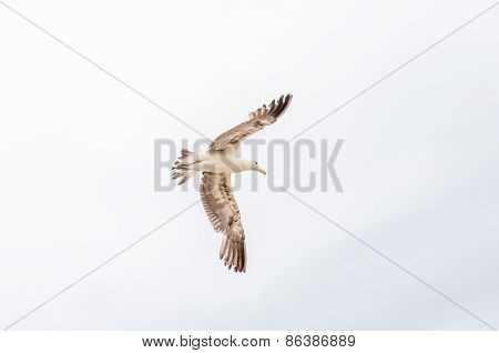 Soaring Kelp Gull