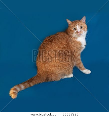 Thick Red And White Cat Sitting On Blue