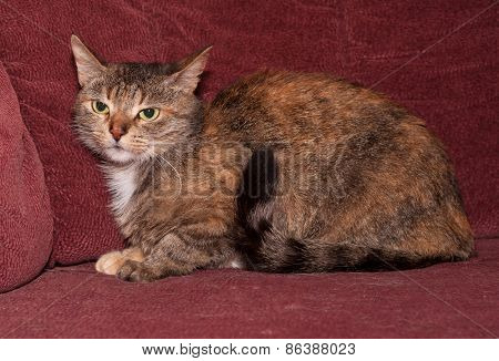 Tricolor Striped Cat Sitting On Sofa