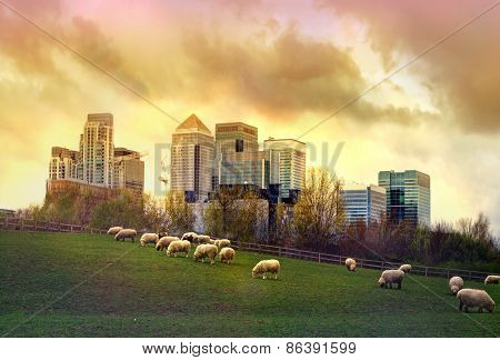 London. Canary Wharf skyscrapers and local farm with sheep on the green fields. Nature and modern li