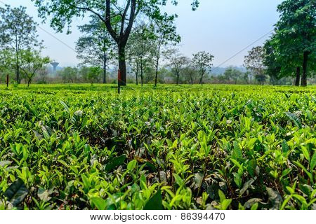 Green tea plantation
