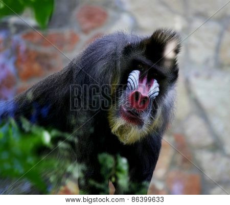 Mandrill. Monkey in zoo, nice summer day