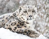 stock photo of snow-leopard  - Frontal Portrait of Snow Leopard in Snow Storm - JPG