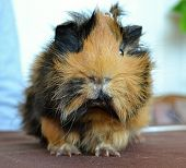 stock photo of guinea pig  - guinea pigs brown pets Zvolen 19 - JPG