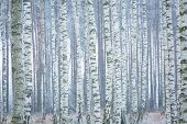 picture of birching  - Frozen birch forest landscape - JPG