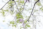 pic of crepe myrtle  - soft focus queen flower on tree in sunny day - JPG