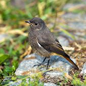 picture of grass bird  - Redstart bird sits on a rock in the grass - JPG