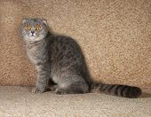 stock photo of scottish-fold  - Scottish fold gray cat sitting on brown couch - JPG
