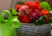 picture of geranium  - Green watering can and bright geranium flowers in the garden - JPG