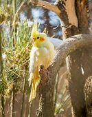 foto of cockatiel  - Portrait of The cockatiel or Nymphicus hollandicus - JPG