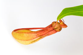 pic of nepenthes-mirabilis  - Nepenthes Alata - JPG