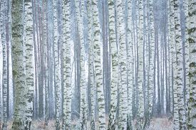 stock photo of winter trees  - Frozen birch forest landscape - JPG