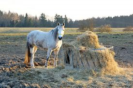 image of feeding horse  - Beautiful white horse is standing at the feeder - JPG